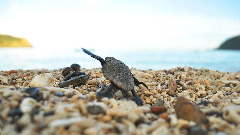 国直海岸で生まれた子亀