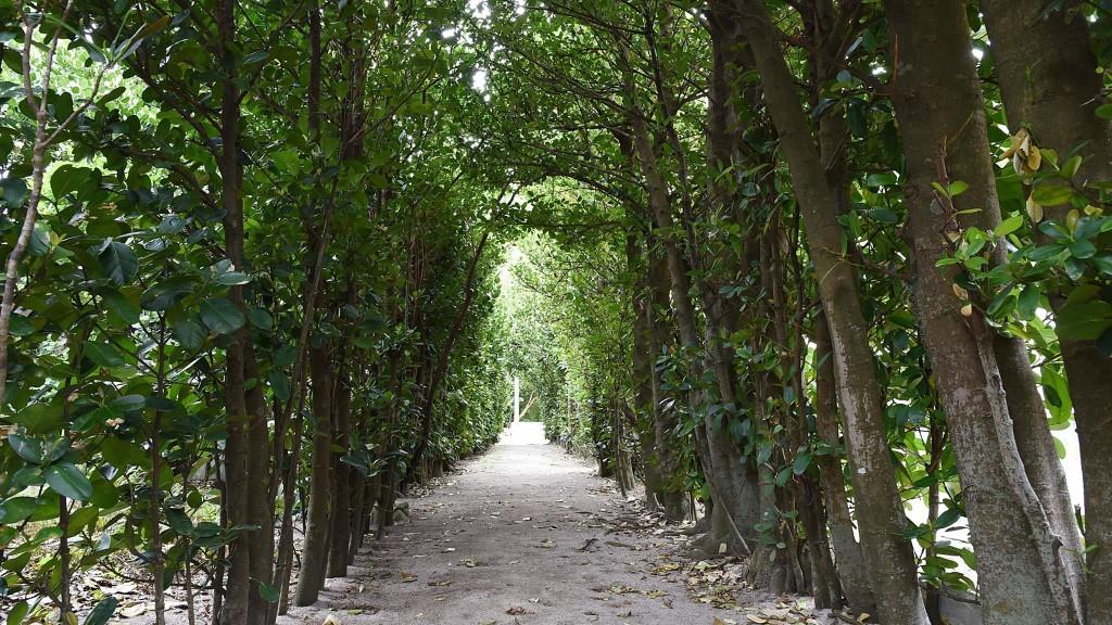 奄美国直集落のフクギ並木