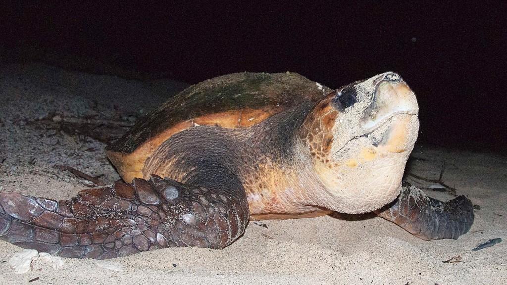 産卵をするために砂浜に上がってきたウミガメ(奄美)
