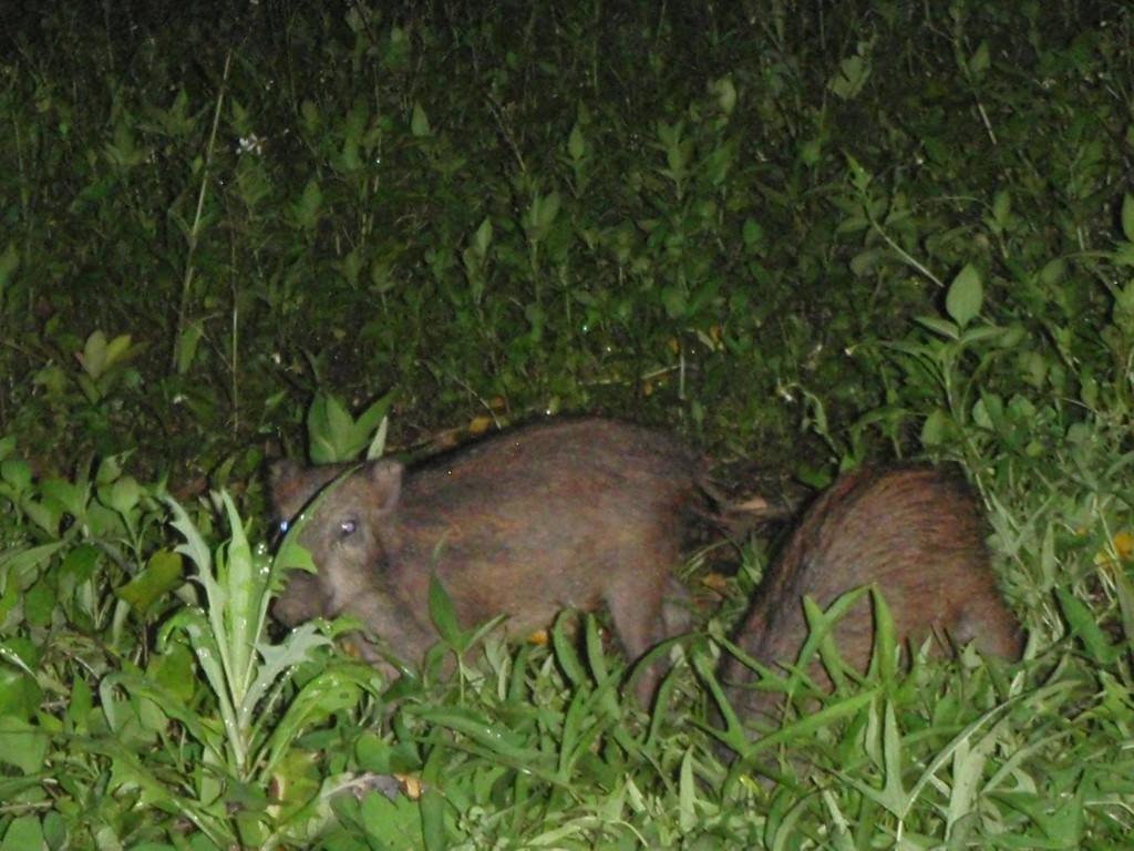 野生のリュウキュウイノシシ(奄美)