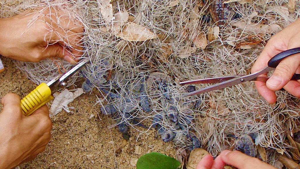漁網に絡まる孵化した子亀