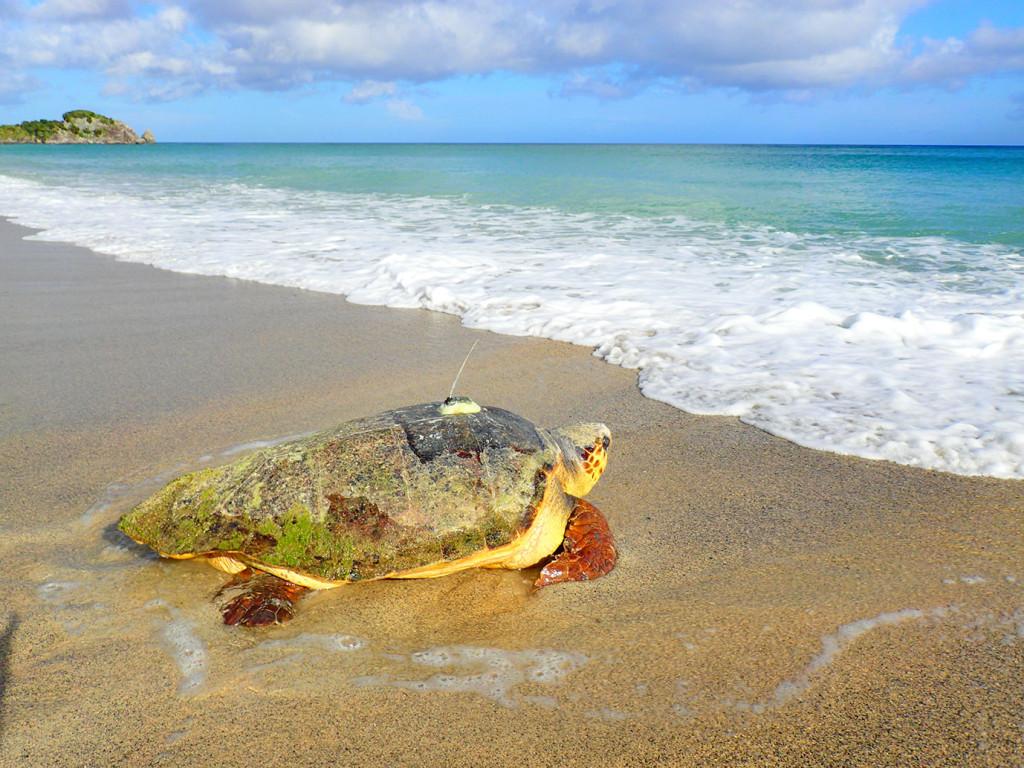 衛星追跡調査中のアカウミガメが海へ帰るところ