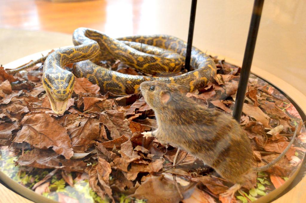野生生物保護センターのハブとねずみの剥製
