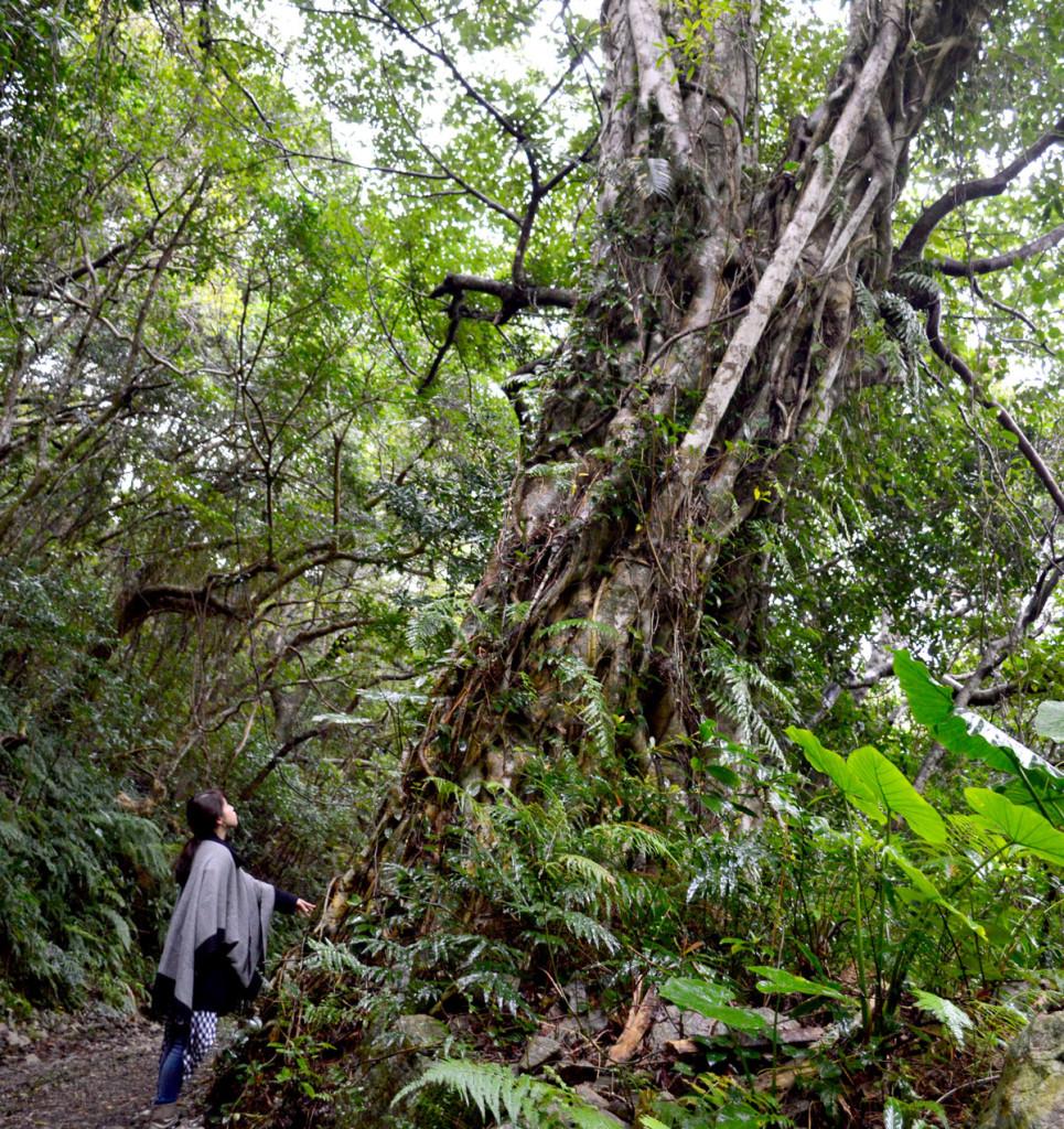 青久に向かう途中の大きな木