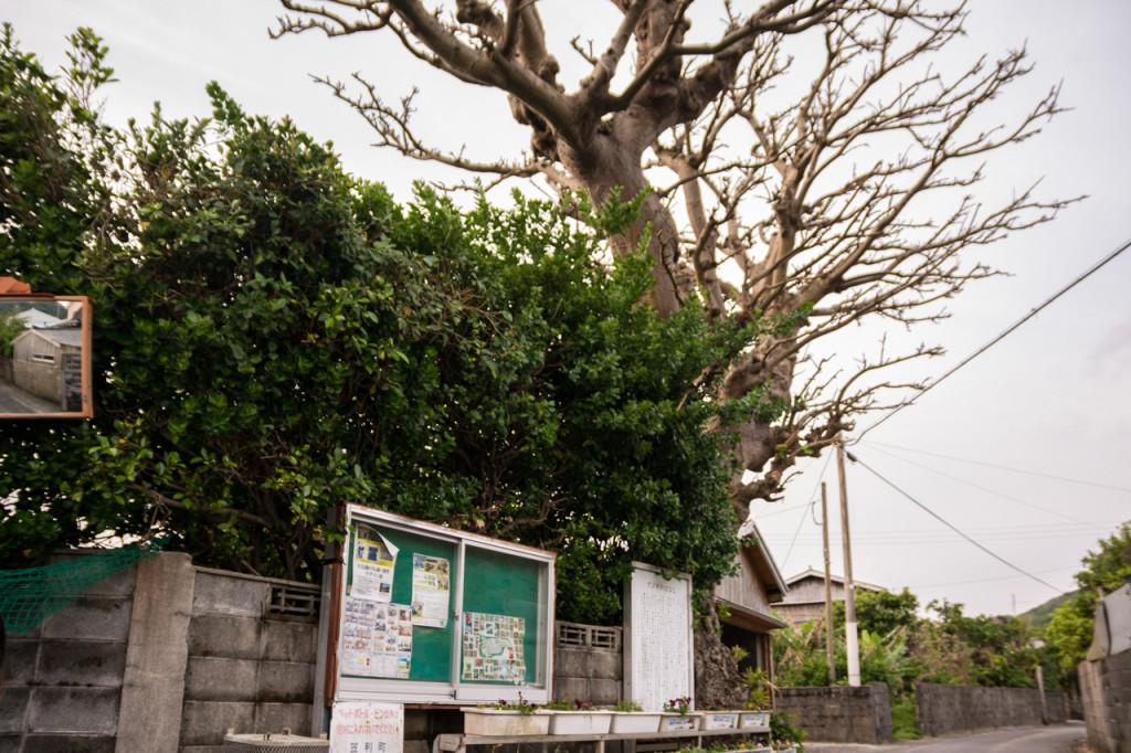 奄美、佐仁集落のデイゴの樹