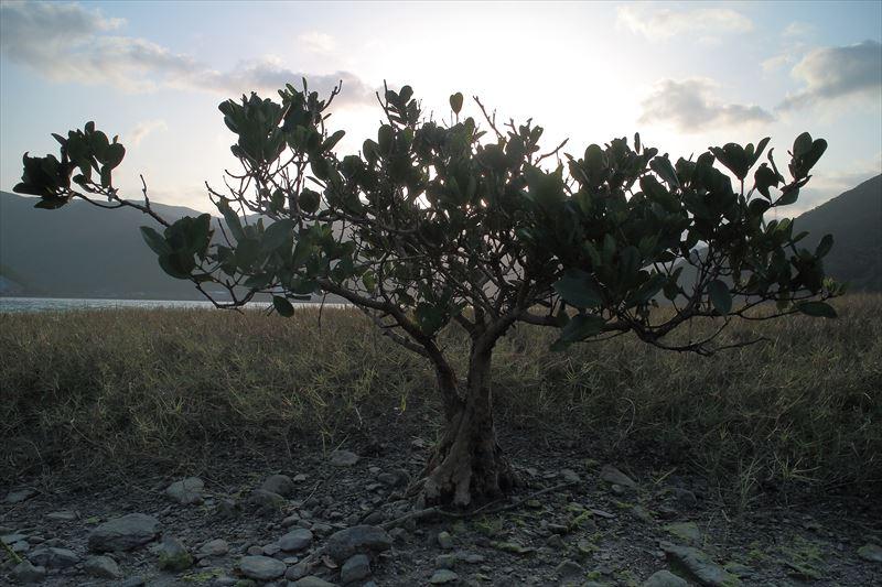 海水と淡水が混じり合う場所に生育する植物、メヒルギ