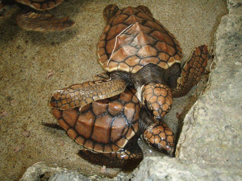 海洋展示館のウミガメ