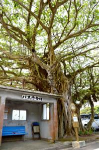 宇検村田検集落にあるバス停とガジュマル