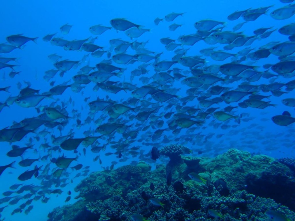 サンゴと魚の大群(奄美)