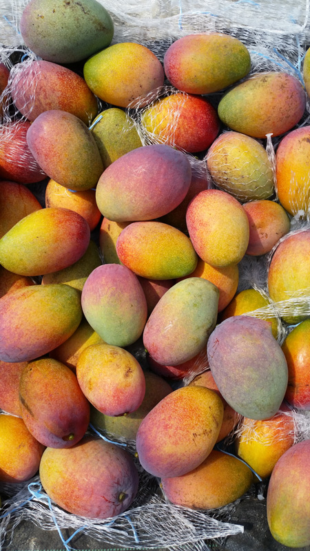 奄美宇検村で栽培されているマンゴー