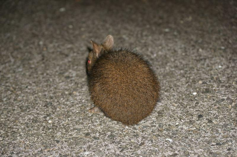 夜間、山の道路に出てくるアマミノクロウサギ