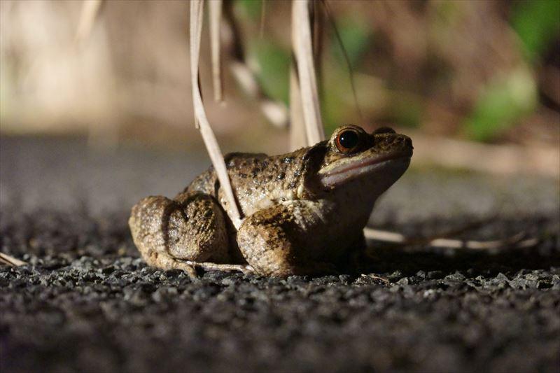 奄美大島と加計呂麻島の固有種、オットンガエル