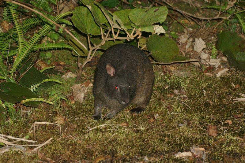 天然記念物アマミノクロウサギ