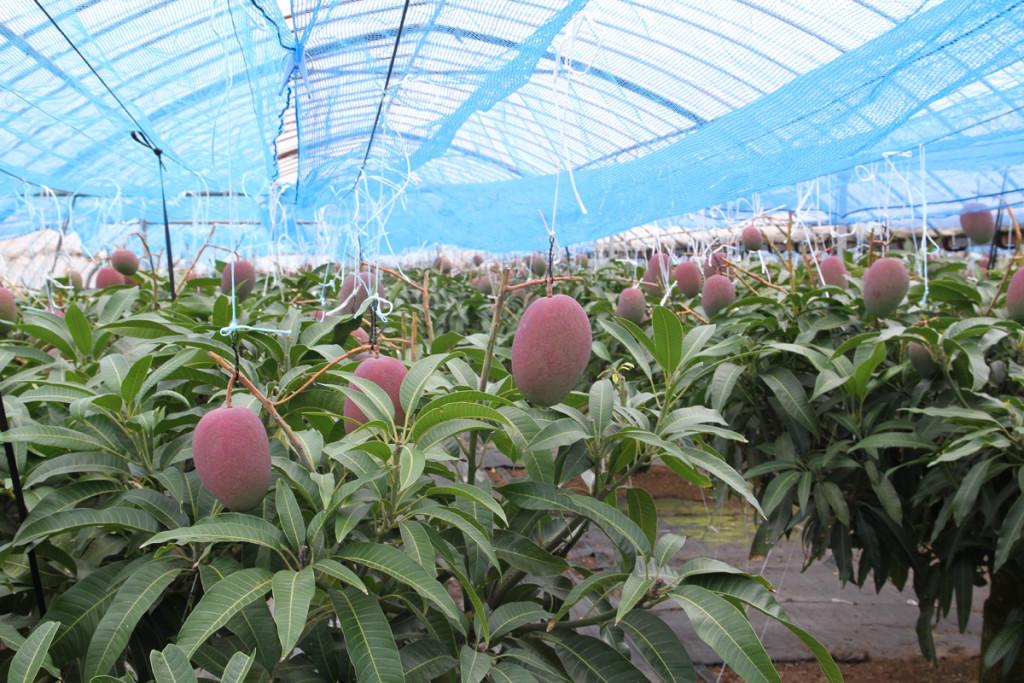 奄美宇検村のマンゴー栽培