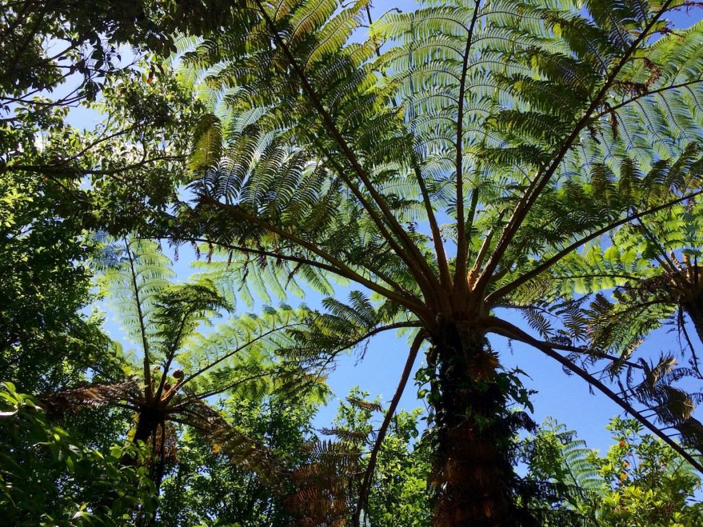 「ヘゴ」という樹木状になるシダ植物