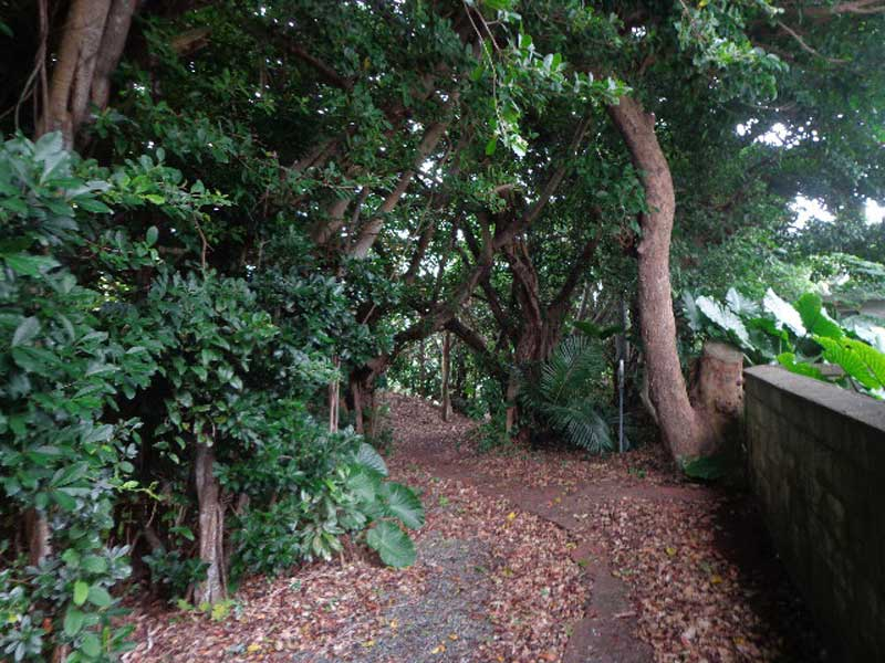 奄美・有良のガジュマル並木