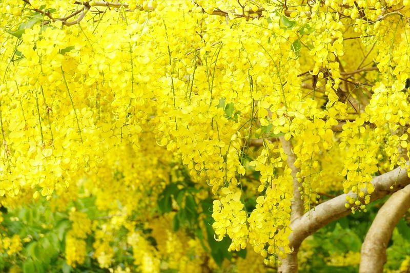 奄美、黄色い花が美しいゴールデンシャワー
