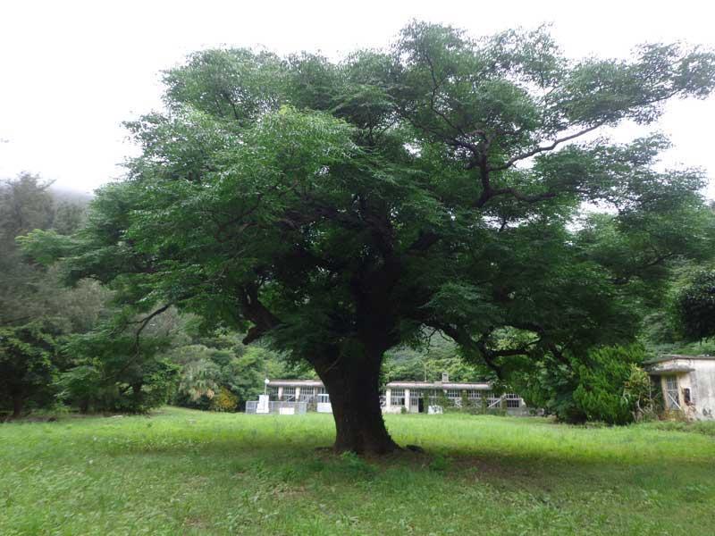 西古見小中学校跡地の栴檀(せんだん)の巨木