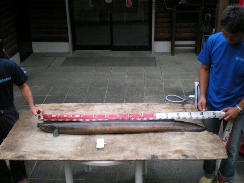 フォレストポリスで捕まえられたという大ウナギ、しかしまだまだ大物がいるそうだ