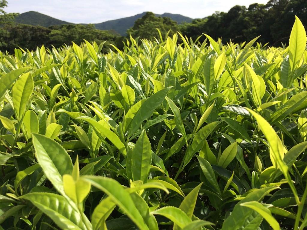 今ではフォレストポリスの一角にのみ、お茶の木が数本残る