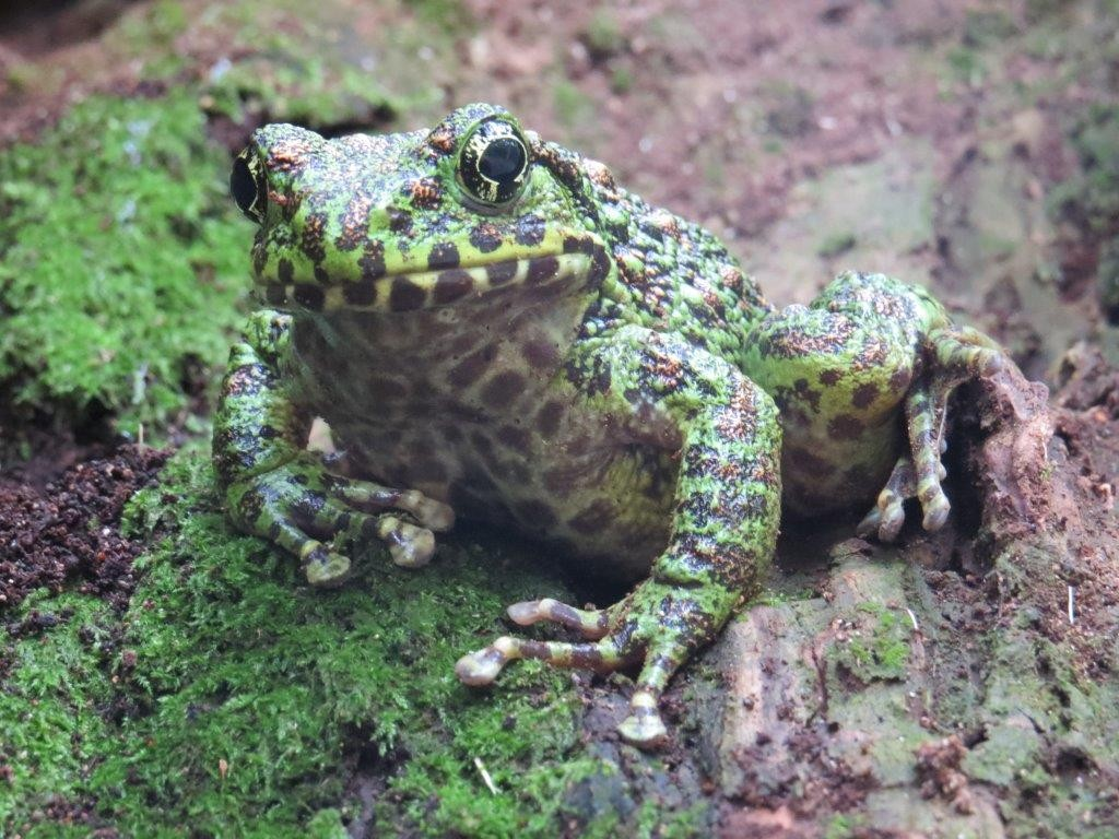 奄美と沖縄に生息する日本の固有種イシカワガエル