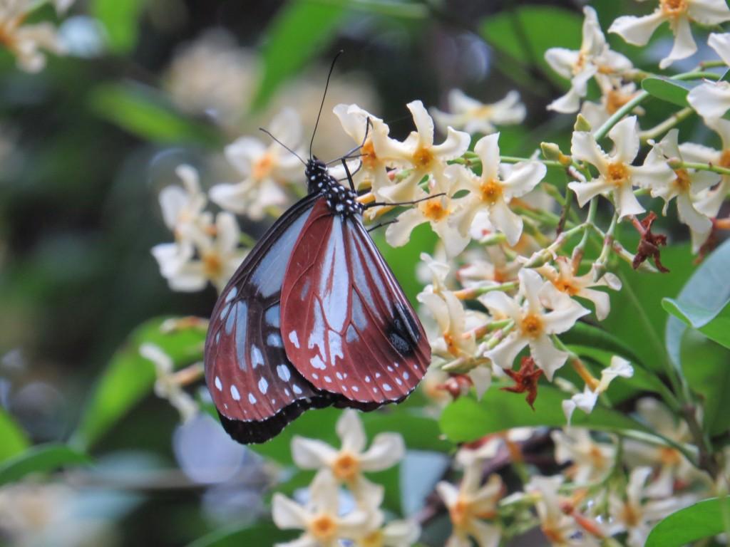 アサギマダラ:秋になると渡ってくるチョウです。全国に愛好家がいます。