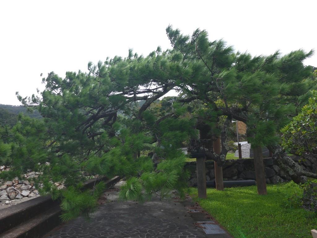 久慈公園の特徴的な松