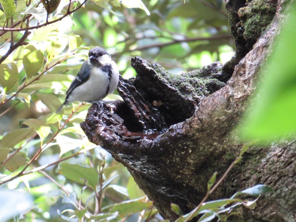 アマミシジュウカラ:メジロに交じって観察できたり、遊歩道を歩いていると観察できます。小さな鳥ですが非常に観察しやすい鳥です。