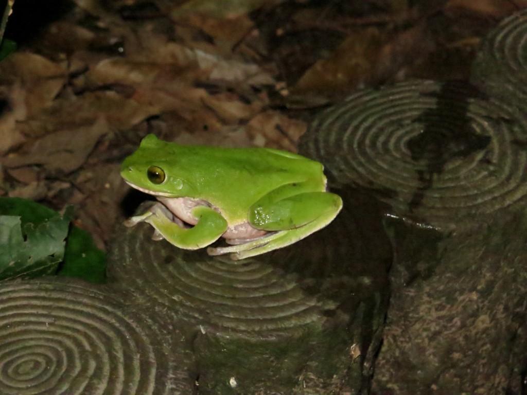 冬に池などの水辺に産卵するアマミアオガエル