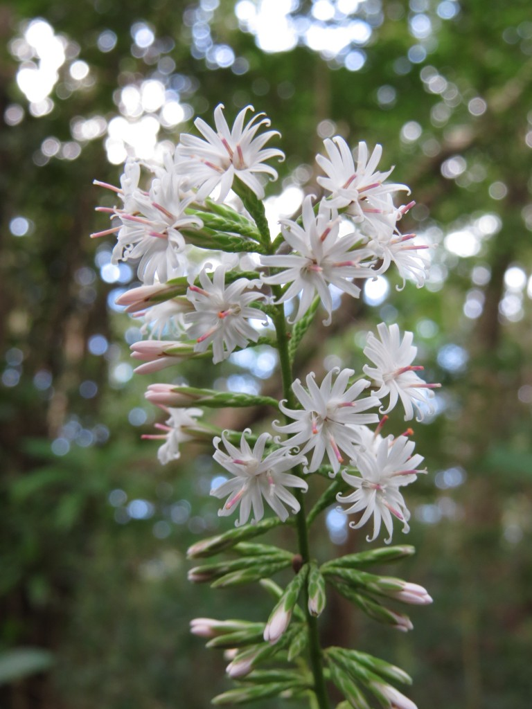 オキナワテイショウソウ:秋の終わりから冬にかけて開花します。白いため非常に目立ちます。