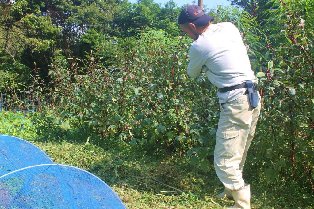 瀬戸内町の阿木名集落にある「チルチルCafe」畑作業