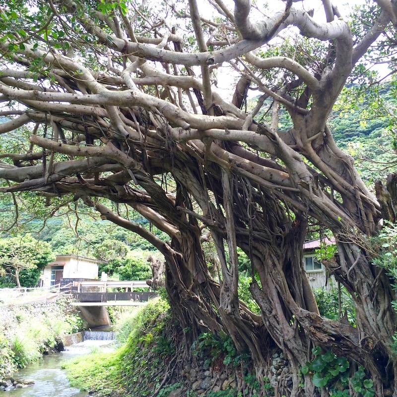 奄美戸円集落の川沿いにあるガジュマル