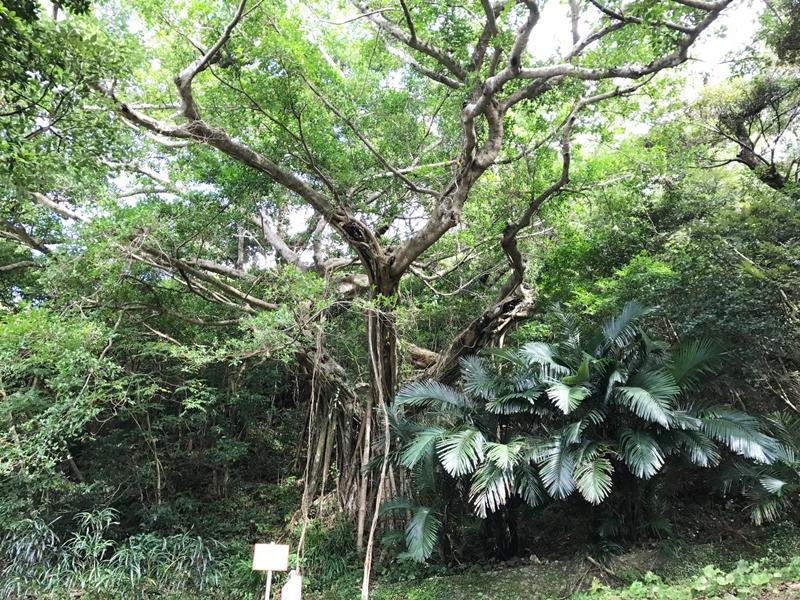 南洲神社内の大きなガジュマル(奄美)