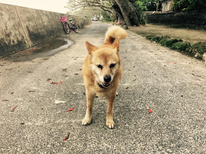 加計呂麻島諸鈍、散歩中の犬