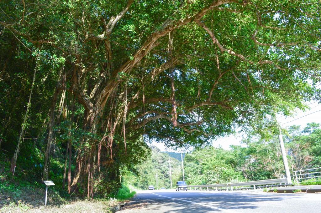大きなガジュマルの木(奄美)