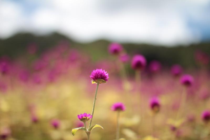 奄美加計呂麻島の花