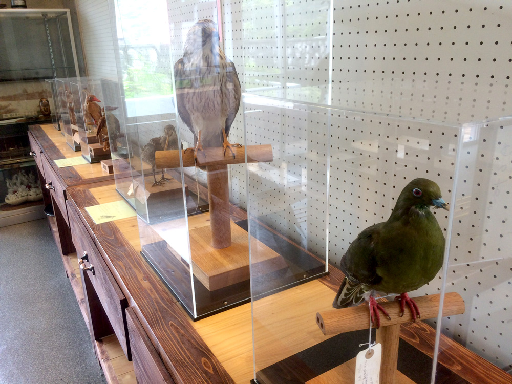 宇検村「元気の出る館」:鳥の剥製