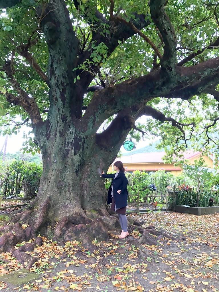 瀬戸内町嘉徳むんゆすい館の大きな木