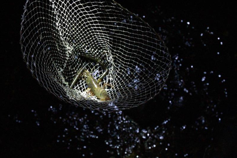 一匹一匹、網で獲って行きます。