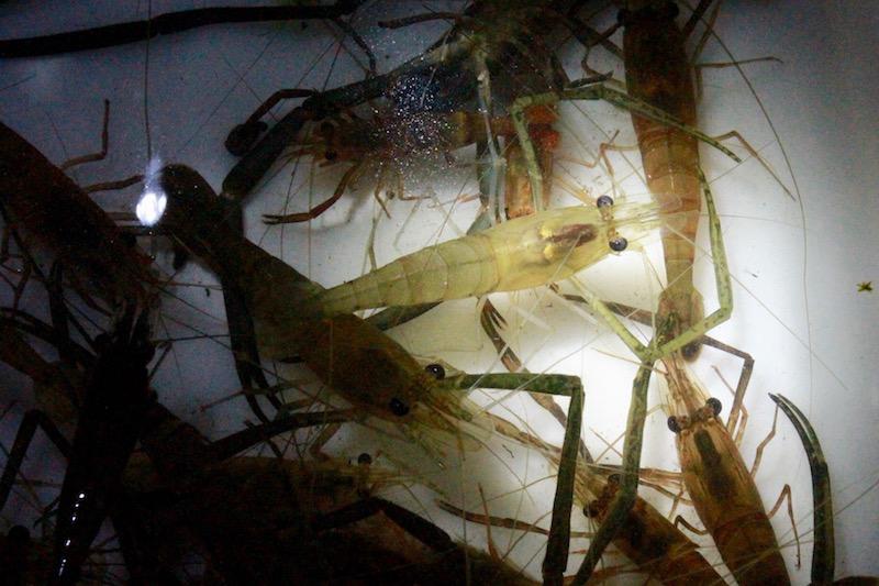 獲りたてのタンガの中には、内臓が見えるほど透明なものもいました。