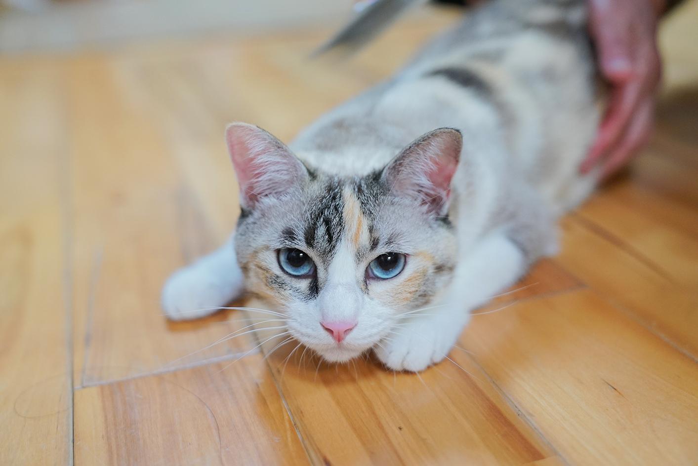 青い目の看板猫のてんちゃん