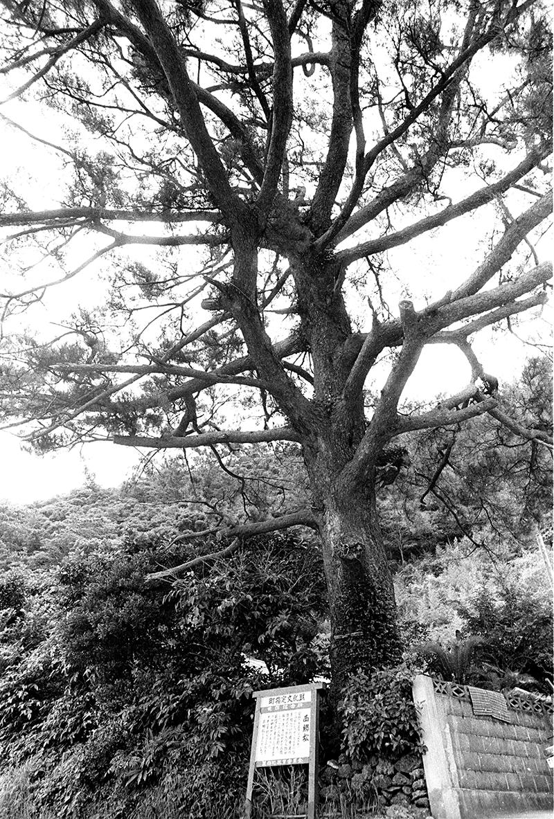 龍郷町伐採前の西郷松