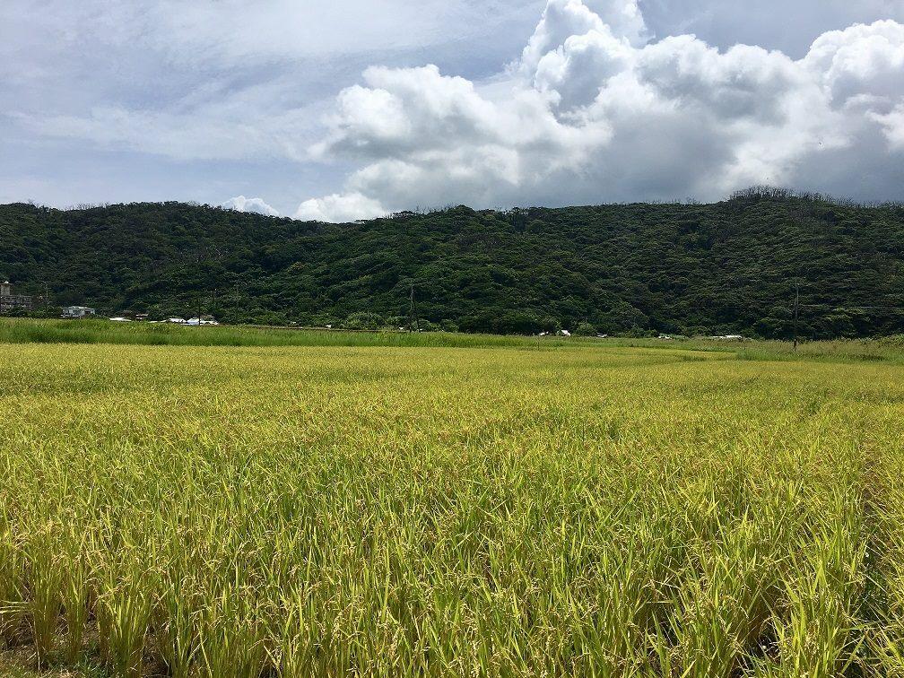 奄美のさとうきび畑