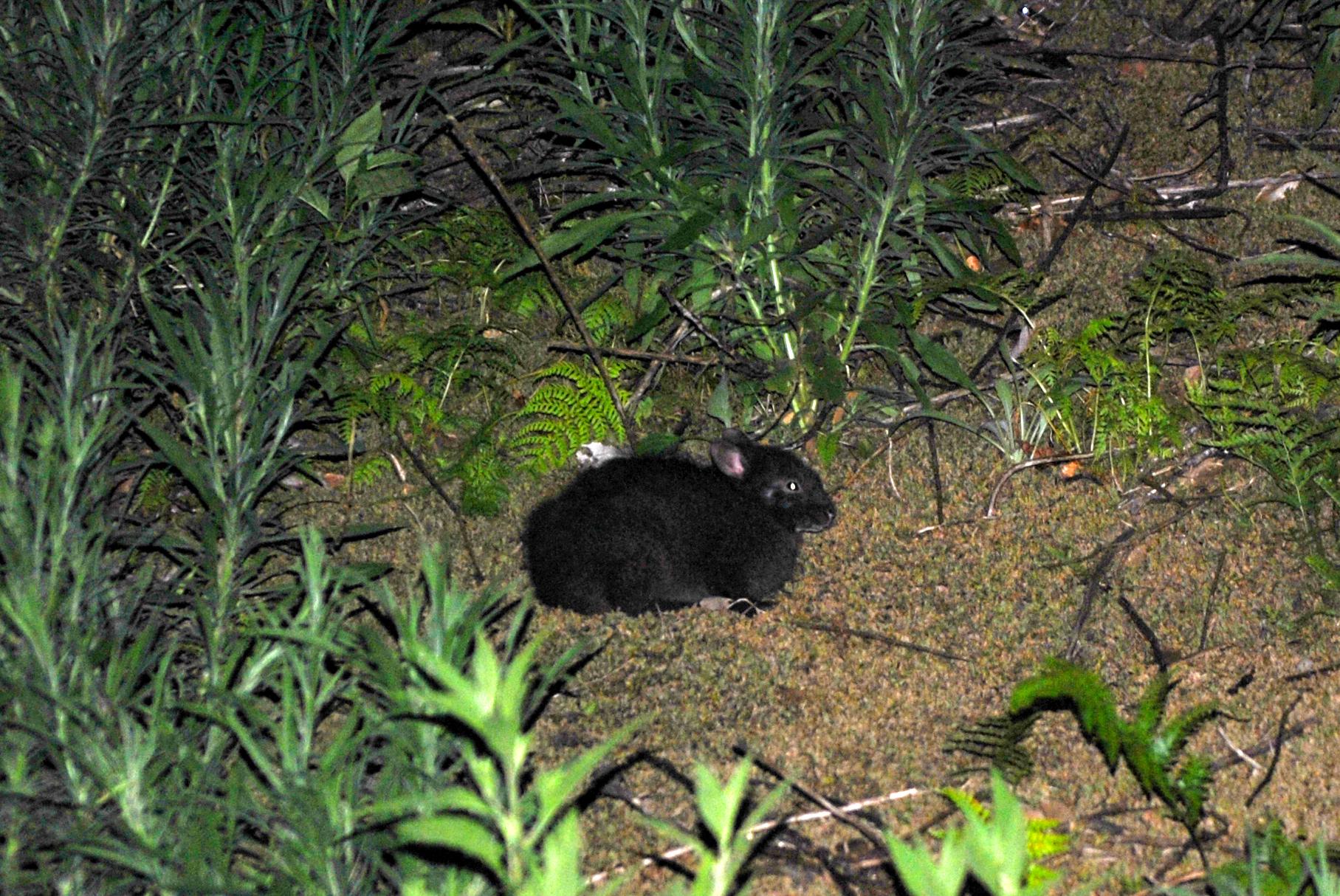 宇検村ナイトツアー:アマミノクロウサギ