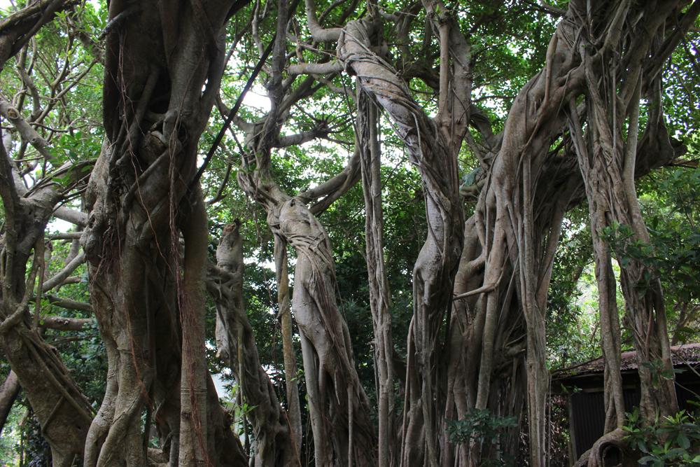 有良のガジュマルの木