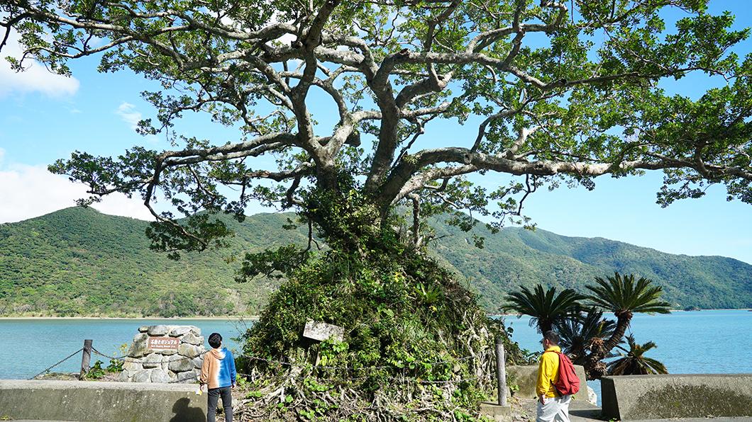 奄美市住用町の石抱きガジュマル