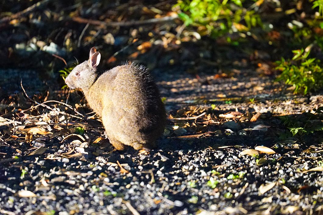 奄美市住用町 アマミノクロウサギ