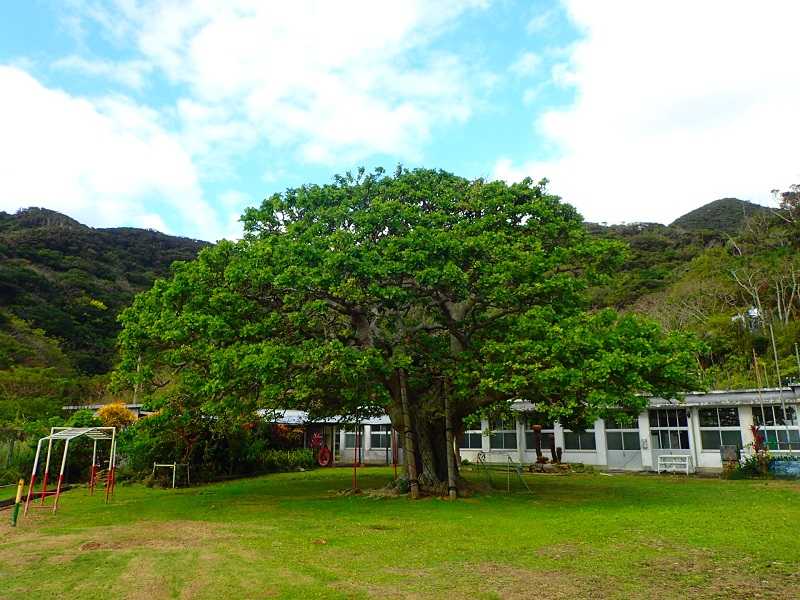 瀬戸内町の須子茂小学校のでいごの木