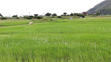 あなたも「ブラ奄美!」Vol.2|奄美の米作りに隠された知恵を探る