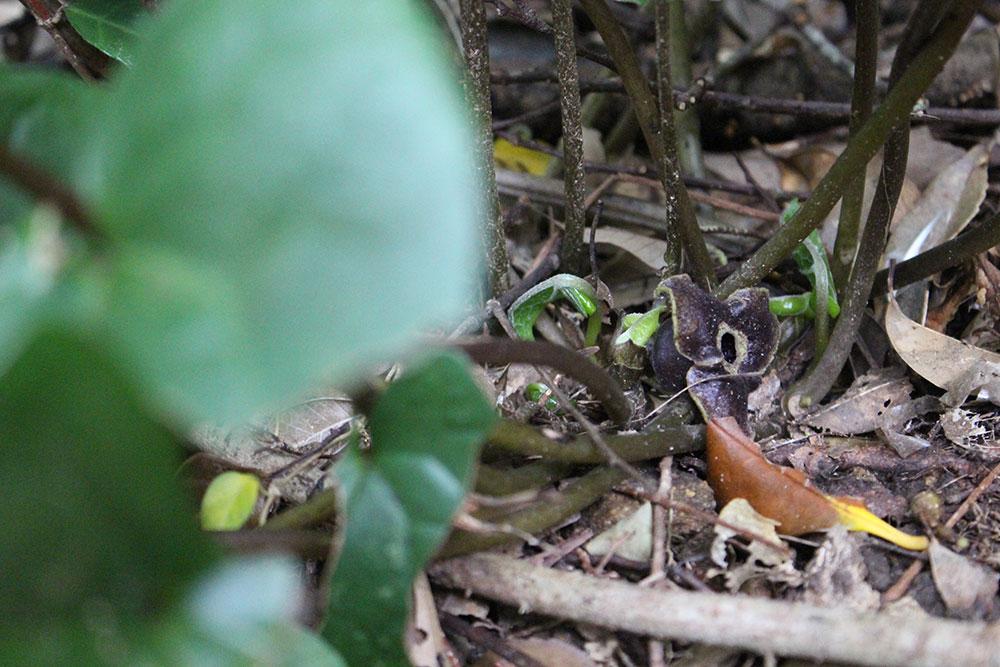 龍郷町にある自然観察の森が紹介したオオバカンアオイ